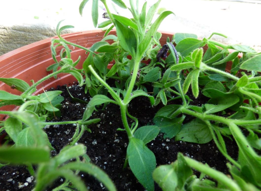 Как посадить петунию?