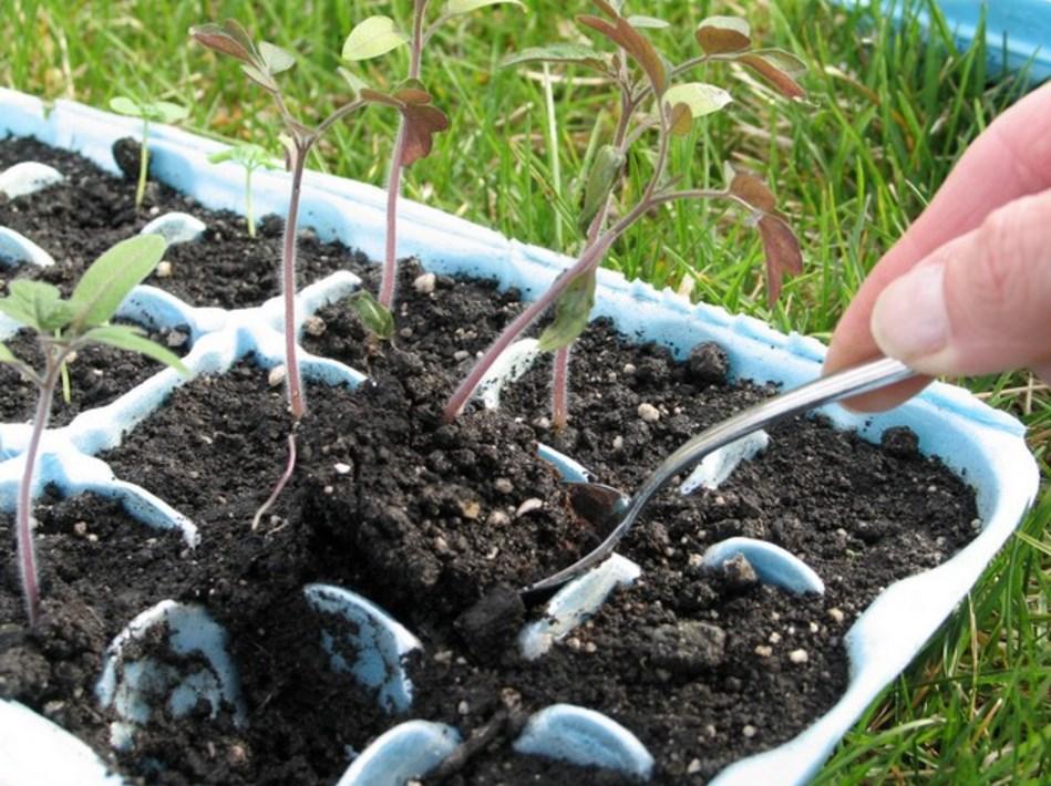 Процесс выращивания и высадки в грунт
