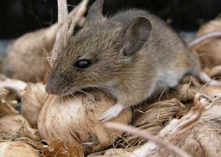 збавляемся от крыс в курятнике и в сарае
