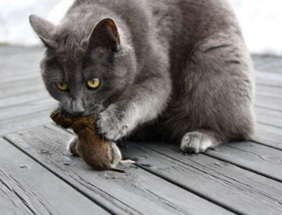 Кот от крыс и мышей